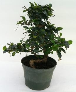 Pre Bonsai Tree