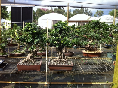Bonsai Trees Ien Tea Sweet Plum Ligustrum Ficus Retusa Zelkova Podocarpus Serissa Ginseng Money Tree Jade Ilex Desert Rose